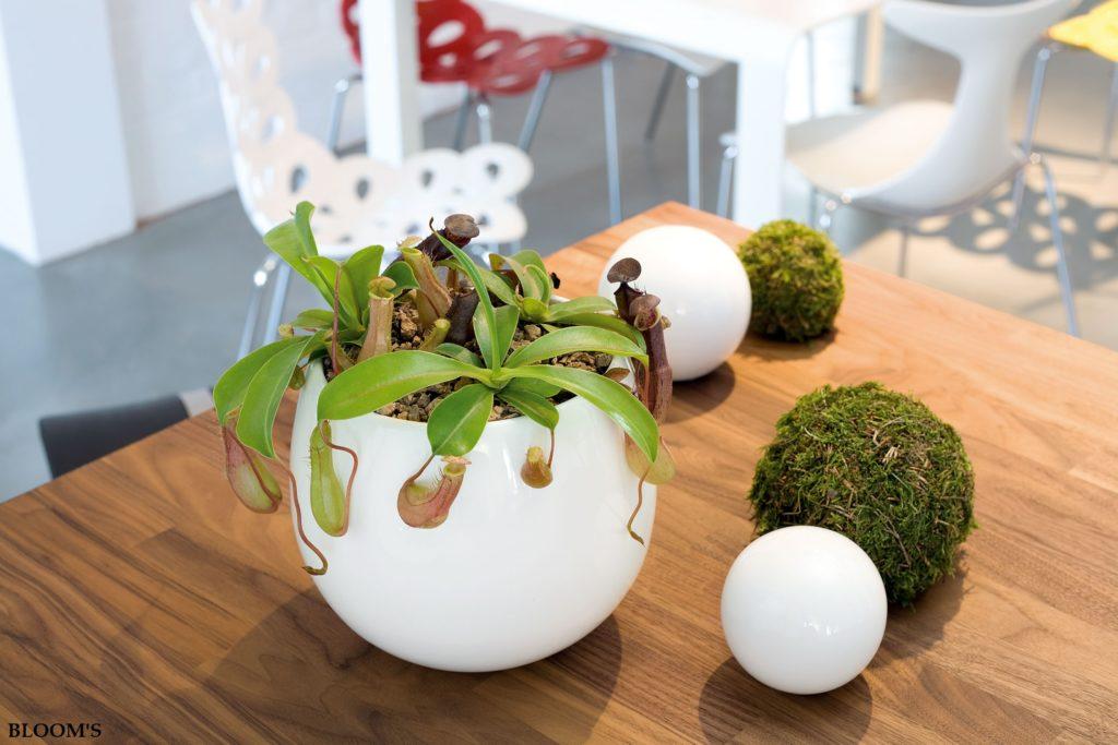 Fleischfressende pflanzen als dekoidee f r den sommer for Obstfliegen in pflanzen