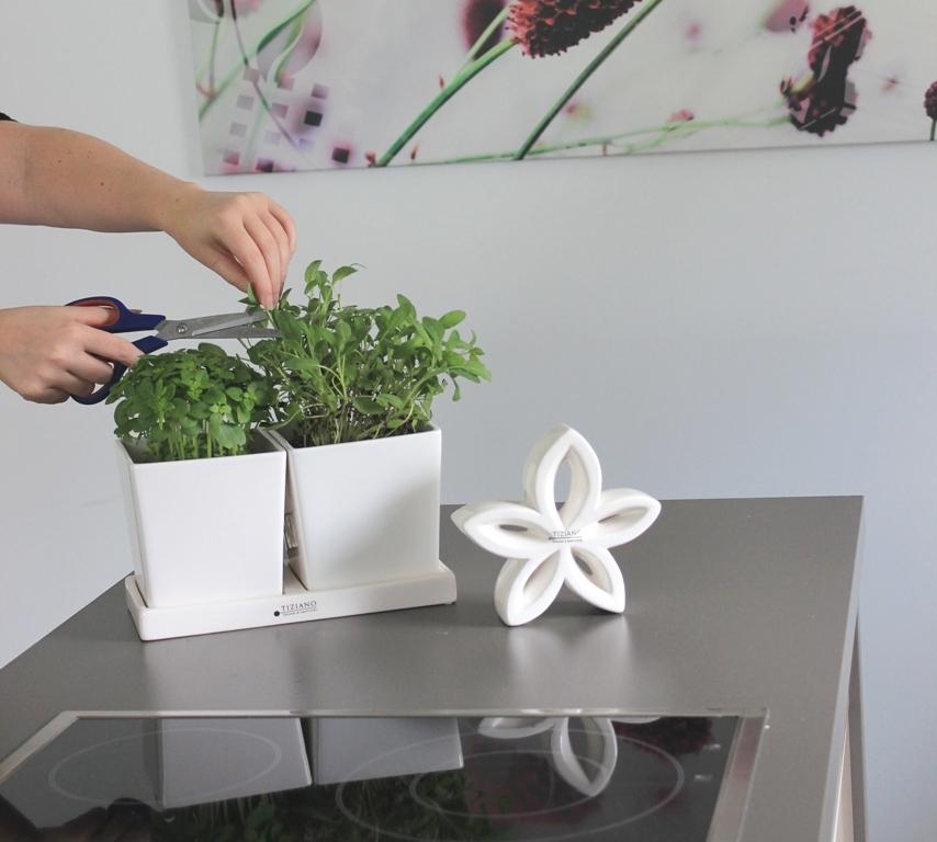 Küchendeko Basilikum pflegen