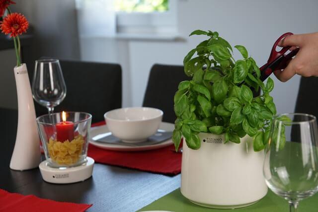 Kräuter-Garten Basilikum schneiden