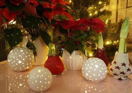 Amaryllis und Christsterne als Weihnachtsdeko