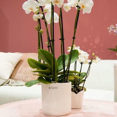 Orchideen Kübel Galla weiß-creme